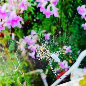 To jest zwykły ogrodowy pająk występujący na Maderze. Niejadowity, który żywi się owadami i insektami. Natomiast na wyspach Desertas występują największe i śmiertelnie jadowite tarantule das Desertas (8 cm wielkości ). Żyją wśród suchych krzewów , które zjadają zesłane kozy. Właśnie te zwierzęta zamieszkiwały Maderę i były największym pożywieniem mieszkańców.