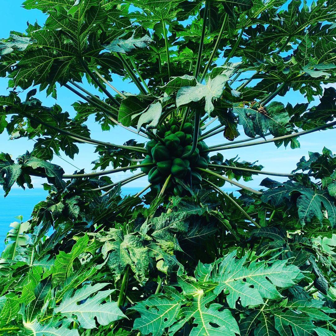 Melonowiec właściwy, nazywany przeważnie papają, czasami nieściśle drzewem melonowym – gatunek rośliny z rodziny melonowcowatych. Pochodzi z Ameryki Południowej, Środkowej i południowych rejonów Ameryki Północnej. Obecnie uprawiany w tropikach i subtropikach.