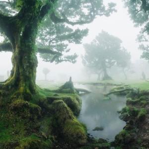 Laurowe drzewa tzw. Til znajdują się w Fanal na Maderze. Drzewa te są częścią lasu wawrzynowego Laurisilva wpisanego na listę światowego dziedzictwa UNESCO.Mają więcej lat niż odkrycie wyspy czyli ponad 600 lat. Takie lasy przetrwały epokę lodowcową tylko na Maderze, Azorach i Wyspach Kanaryjskich.