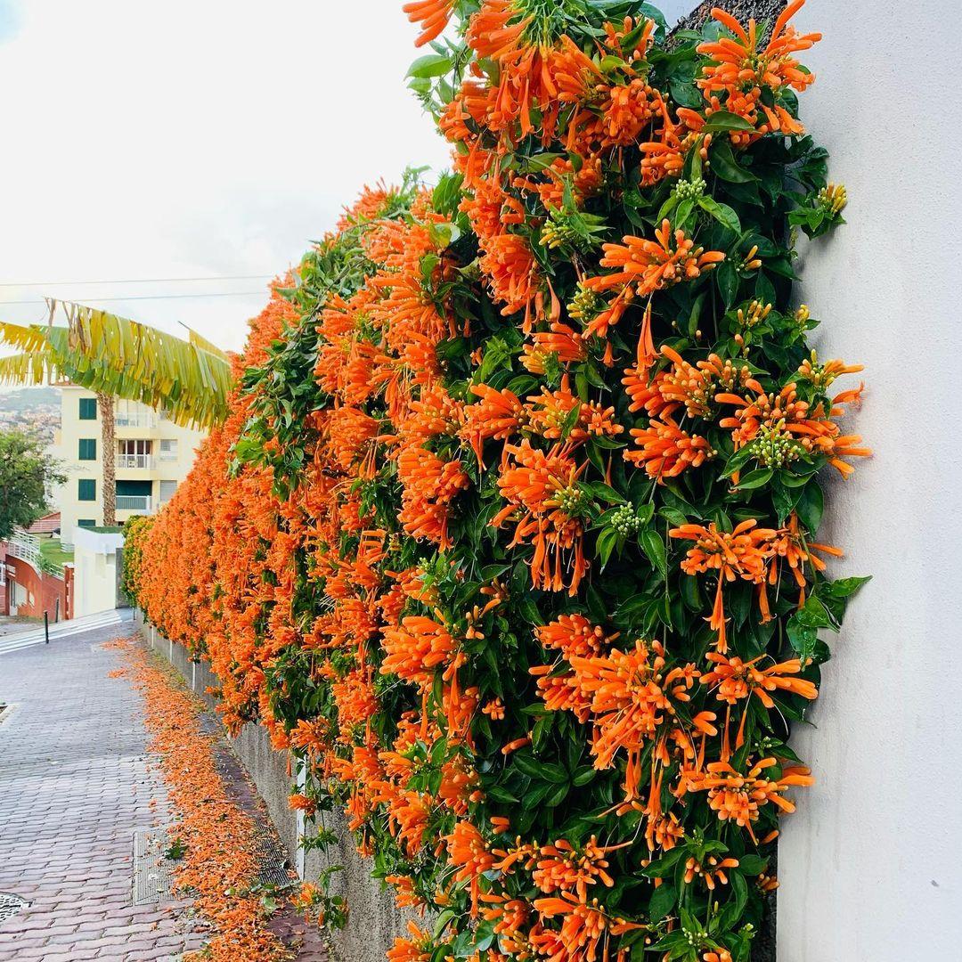 Pyrostegia Venusta czyli Porystegia powabna pochodząca z Brazylii. Roślina uprawiana w wielu  krajach jako ozdobna ze względu na piękne pomarańczowe kwiaty. Wrażliwa na zimno, dlatego spotykana tylko w ciepłych zakątkach świata.