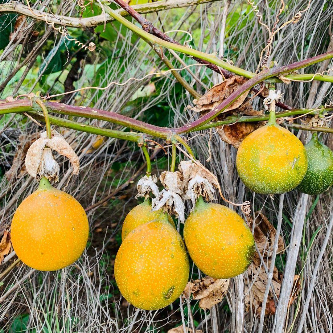 Marakuja ananasowa rośnie na pnączu i jest słodsza niż inne odmiany. Na Maderze owoc marakui jest najczęściej poszukiwanym przez turystów. To zdjęcie zrobione  jest na jednym z poletek w miejscowości Faial dzisiaj. Marakuja to gatunek rośliny z rodziny męczennicowatych pochodzący z Ameryki Południowej. Pyszności 😋